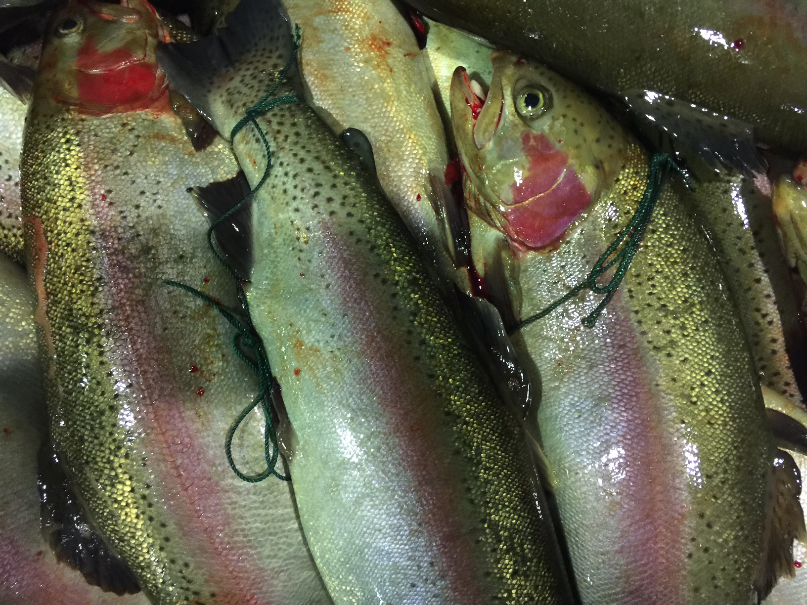 University of Copenhagen Kurt Buchmann Mature parasite free rainbow trout